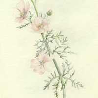 Water Color of a Pink Flower By Jane Wiske